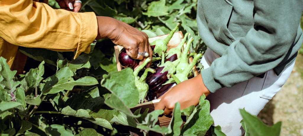 Farmers harvesting eggplants